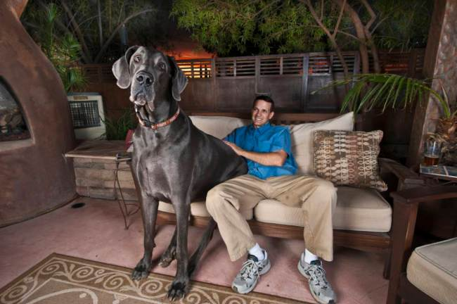Giant George. The 43-inch-tall great dane from Arizona.