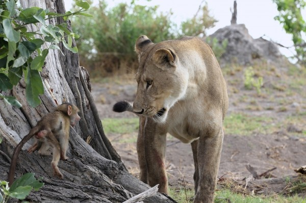Baboon and Lions (3)