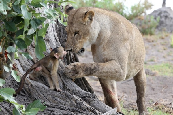 Baboon and Lions (5)