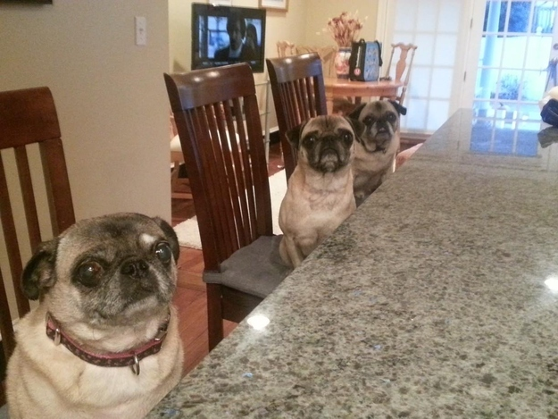 1. When pugs decided they needed to have a talk with you about treats