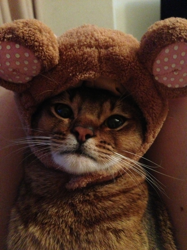 9. When this cat tried to be a bear for Halloween