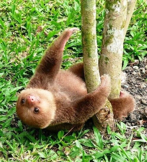 23. When this sloth fell and couldn't get up