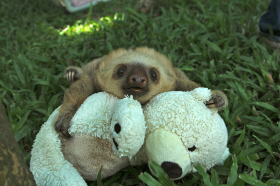 28. When this baby sloth learned to snuggle
