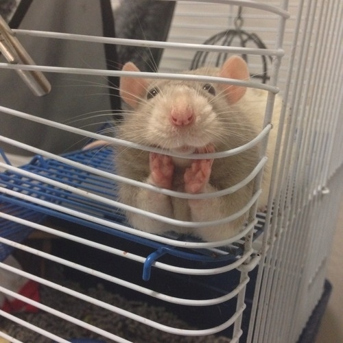 14. When this rat wanted to know how your day was