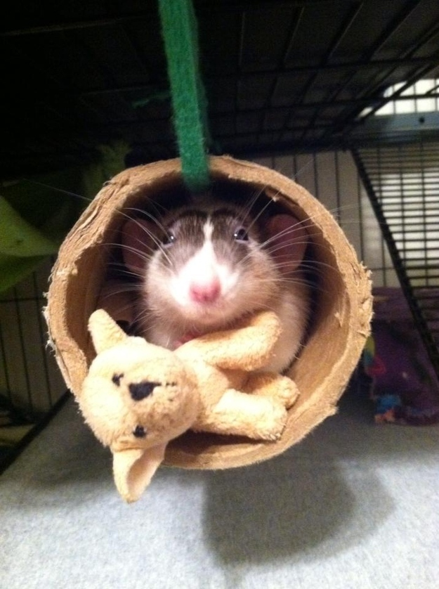 3. When this rat took a nap with his favorite stuffed puppy