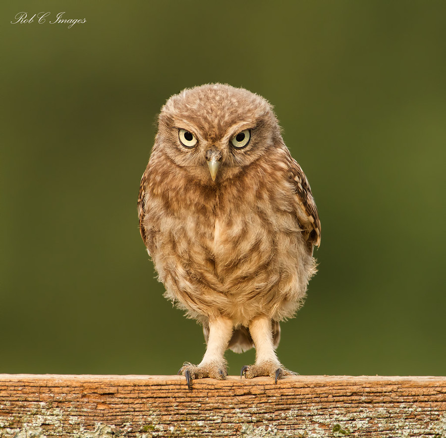 Photograph Little Owl Owlet by Rob Cross on 500px