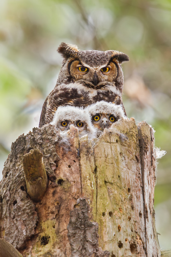 Photograph Great Horned Owl Family Portrait. by Daniel Cadieux on 500px