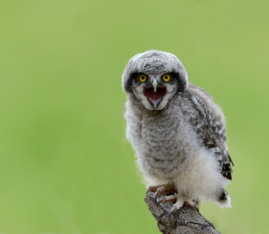 Photograph A hungry hawk owl kid by Ronnie Bergström on 500px