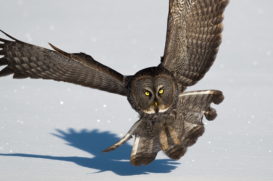 Photograph Great Gray Owl by Eric Belanger on 500px