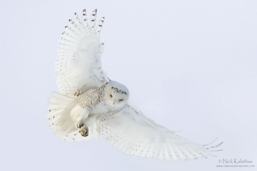 Photograph Snowy Owl by Nick Kalathas on 500px