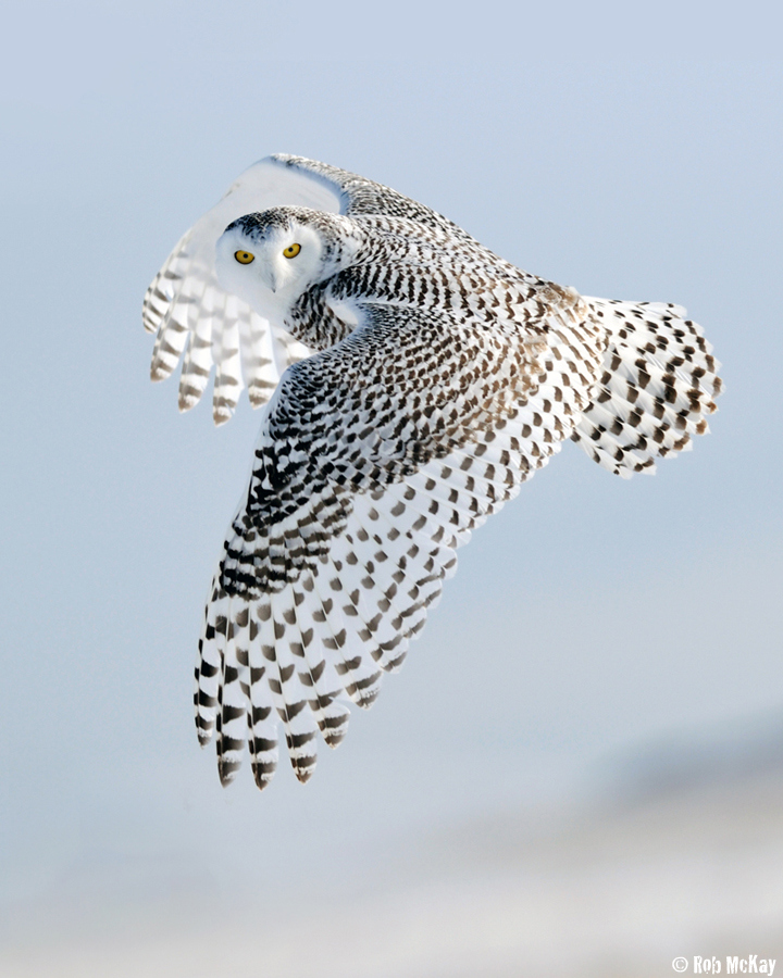 Photograph Snowy Owls Look by Rob McKay on 500px