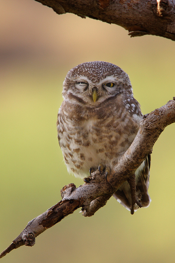 Photograph Winking Beauty ...The Spotted Owlet (Athene brama) by Sharad Agrawal on 500px