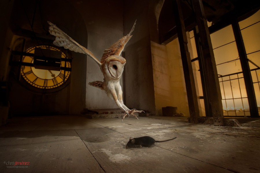 Photograph Barn Owl (Tyto alba) hunting at church bell tower by Chris Jimenez on 500px