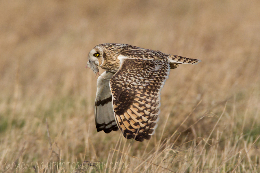 Photograph Short Eared Owl with prey by Tony House on 500px