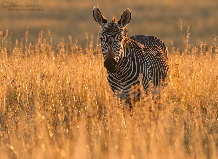 Photograph Fields of Gold by Morkel Erasmus on 500px