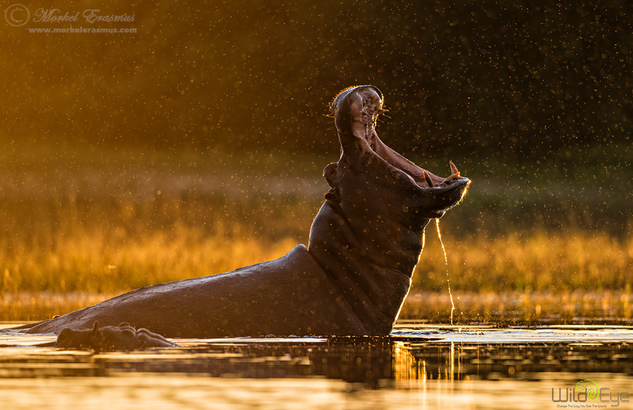 Photograph Golden Jaws by Morkel Erasmus on 500px