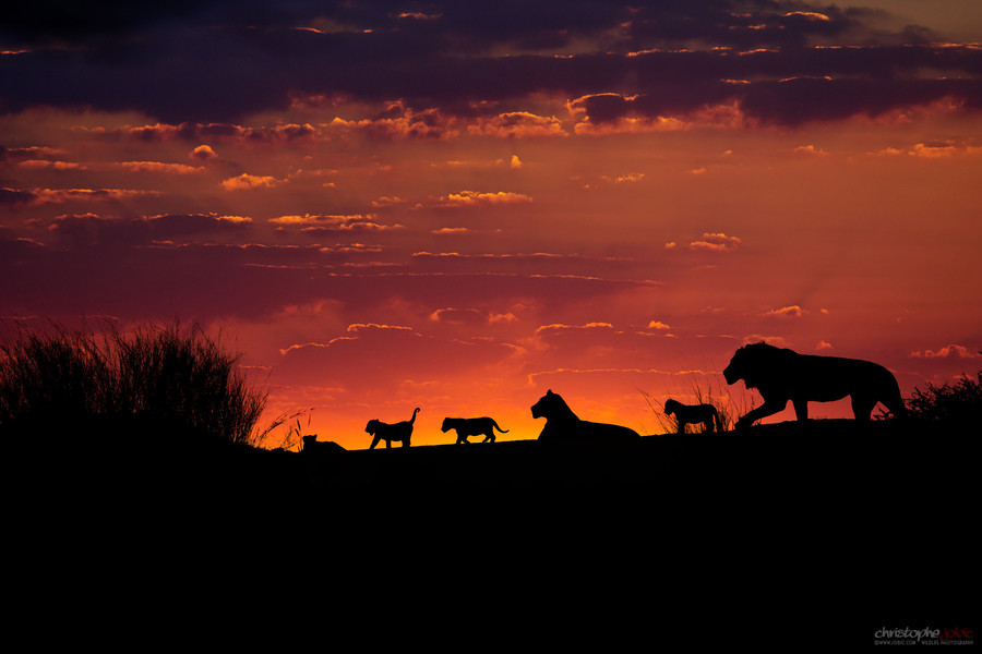 Photograph Lion pride on a Kalahari dune at sunset by Christophe JOBIC on 500px