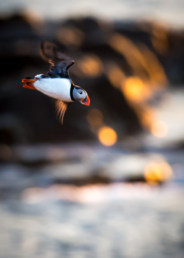 Photograph Early morning Puffin by amcinnis on 500px