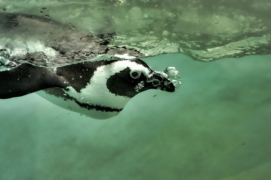 Photograph Penguin bubbles by jean-yvesProvost on 500px