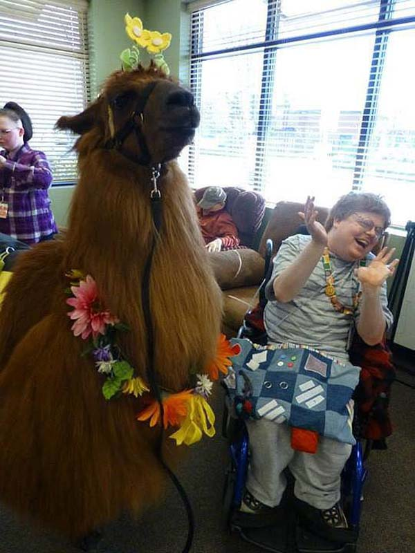 27.) This therapy llama spreading laughter.