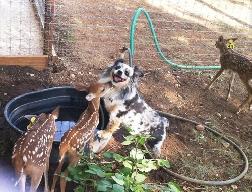 Dog who is very happy to be making baby deer friends.