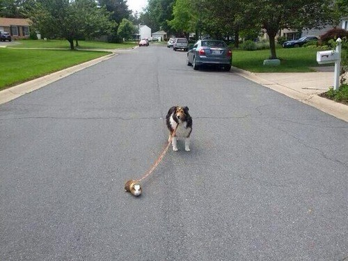 Dog who is being walked by very friendly guinea pig.