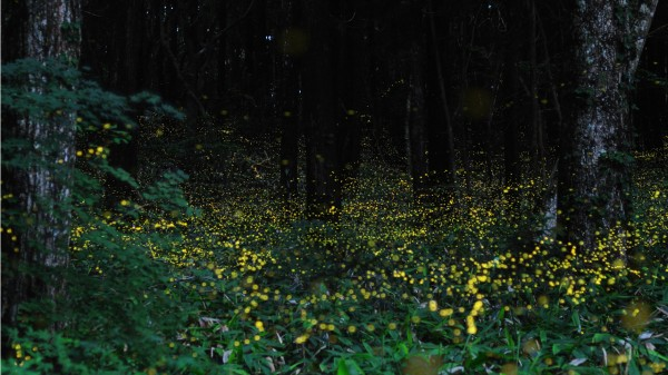 Stunning Long Exposure Pictures of Fireflies in Japan Taken by Yume Cyan: A World of Fairy Tale