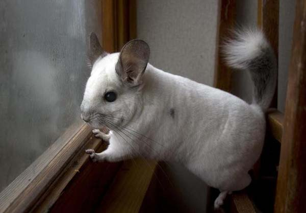 20. Mr. Chinchilla is looking for you.