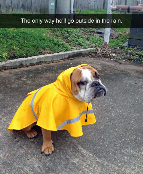 Dog who refuses to go out in the rain without his fab raincoat.