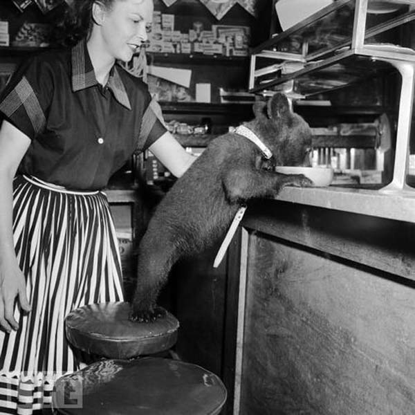 29. A bear cub laps up a bowl of honey in a cafe (1950).
