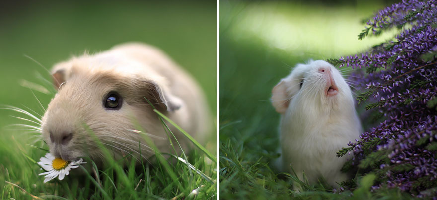 Meet Booboo and His Friends: They're the Most Famous While Adorable Guinea Pigs in the World!