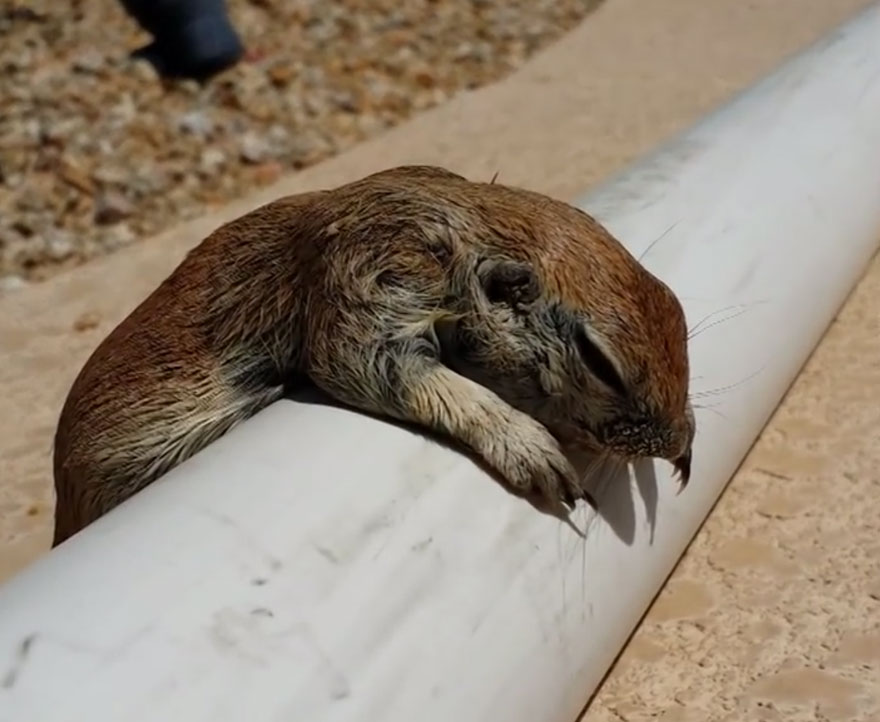 Heartwarming Story Of A Pool Guy Saved A Drowning Squirrel's Life With Cpr