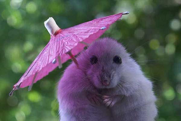 3. Your tiny umbrella can't hide your cuteness, hamster.