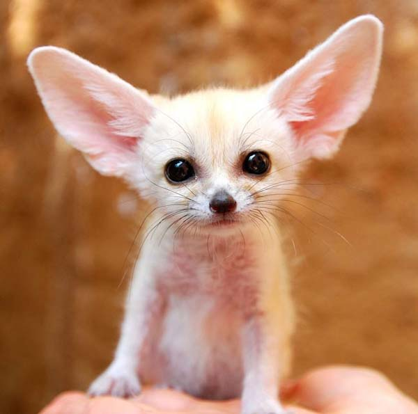 25. I love you, fennec fox. Can you hear me?