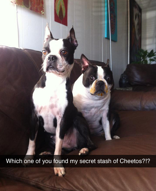 Dog who definitely probably didn't eat the secret stash of Cheetos.