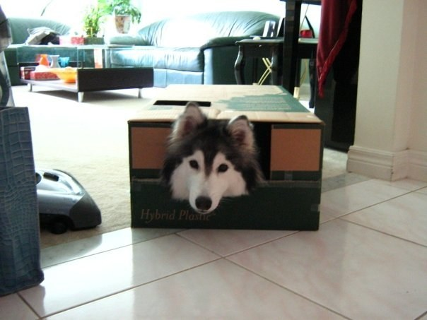 A Cat-Raised Husky's Day When Staying At Home.