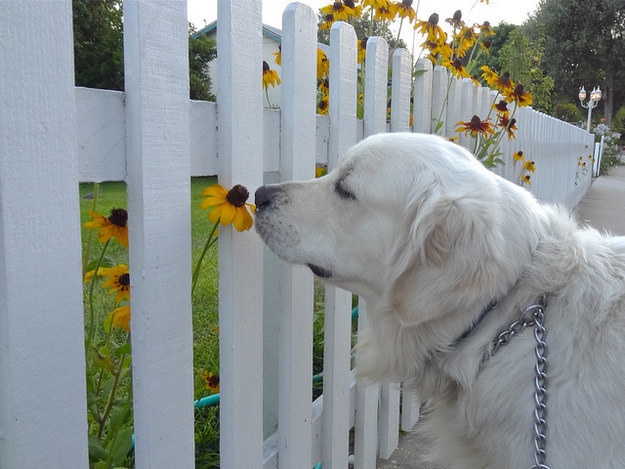 Dog who is happy to stop and smell the flowers.