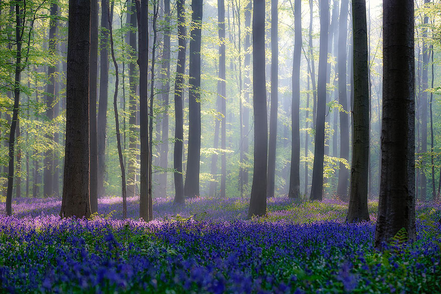 Breathtaking Photos Of A Fairy Tale-like Forest In Belgium Covered With Bluebell Flowers