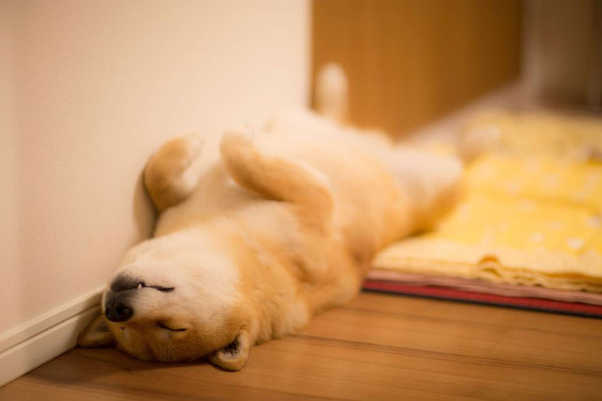 Meet with a Japanese Dog Who Does Everything with a Smile on the Face