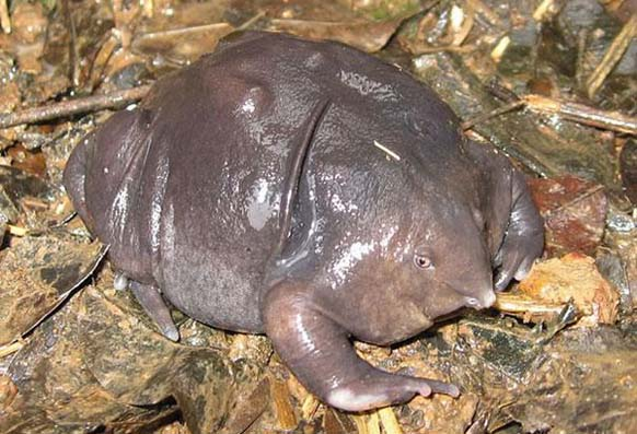 creepy and weird animals. Indian Purple Frog