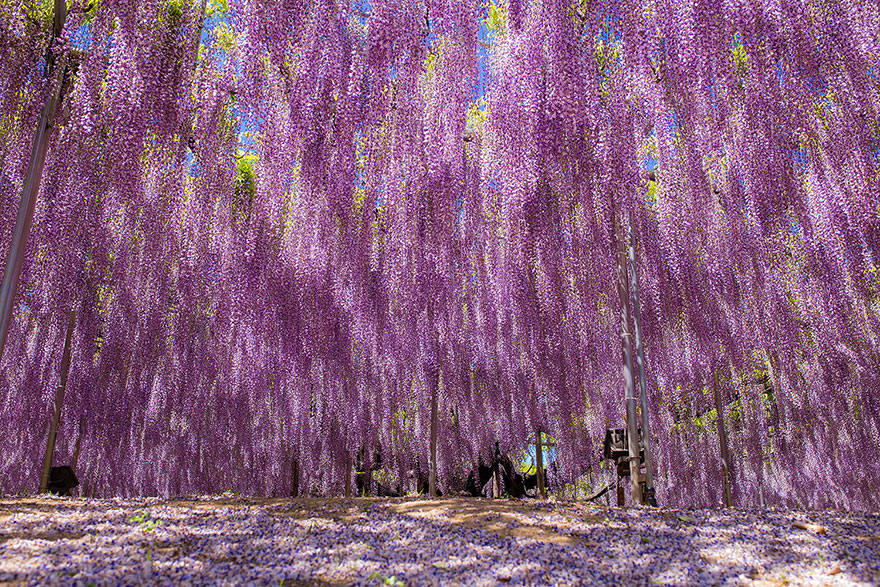 the-biggest-wisteria-in-Japan
