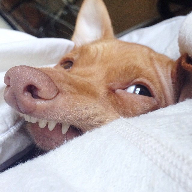 He Is Adorable In His Own Way! Meet Tuna, A Cute Chiweenie ... - photo#35