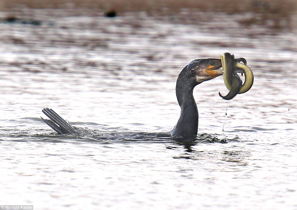 Photographs show hungry cormorant catching an eel