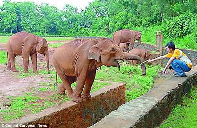 heroin-addict elephants in China have gone clean