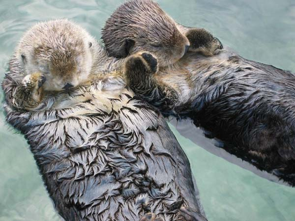 22.) Otters hold hands so they don't float away from each other while they sleep.