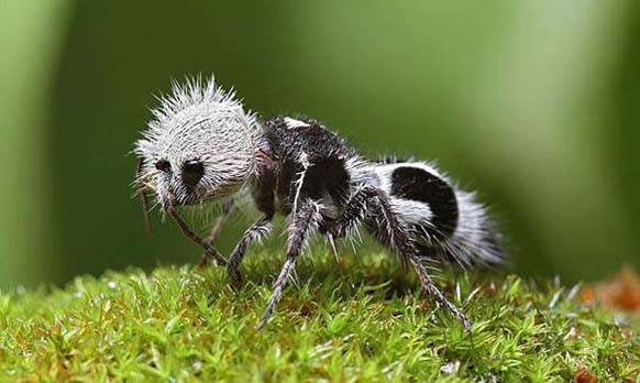 creepy and weird animals. The Panda Ant