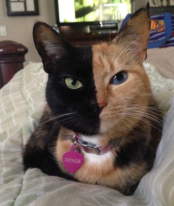 double-faced-cats