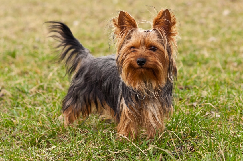 the kindest dog breeds  Yorkshire Terrier