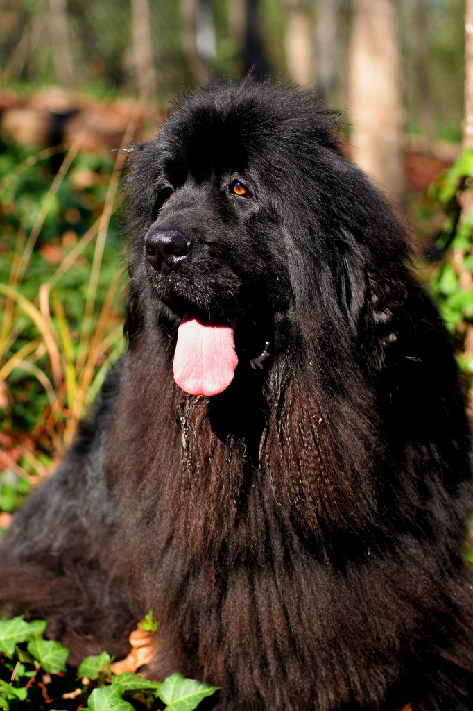 the biggest dogs in the world The Newfoundland