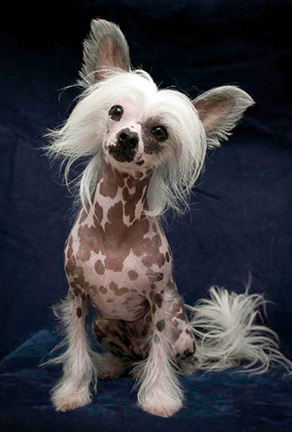 Chinese Crested dog, you know I'm just in love with your spots!